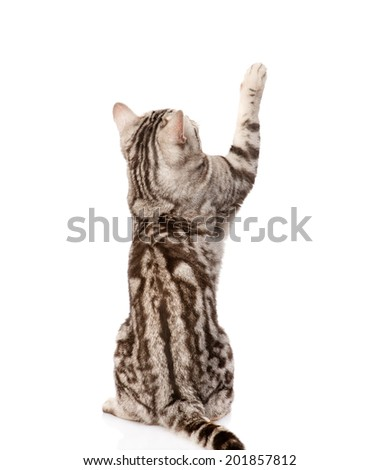 Playful tabby cat. Back view. Isolated on white background - stock photo