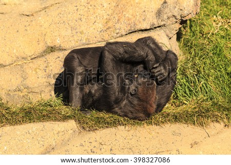 Playful two young gorillas  - stock photo