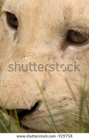 Playful white lion cub, South Africa - stock photo