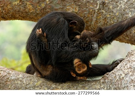 Playful young chimpanzee with its mother - stock photo