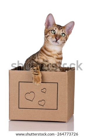 Playful young tabby cat sitting in a box on a white background - stock photo