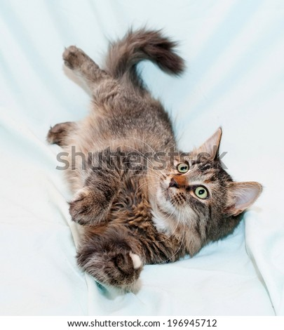 Playing a tri-color green-eyed kitten on blue background