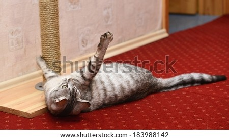 Playing cat on domestic background, curious cat, domestic cat, little cat playing in apartment, funny cat, cat at home - stock photo