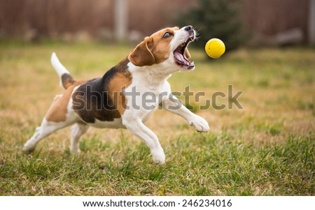Playing fetch with cute beagle dog - stock photo