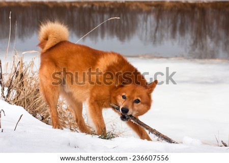 playing finnish spitz