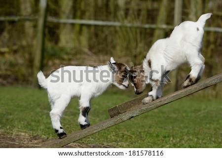 playing goat - stock photo