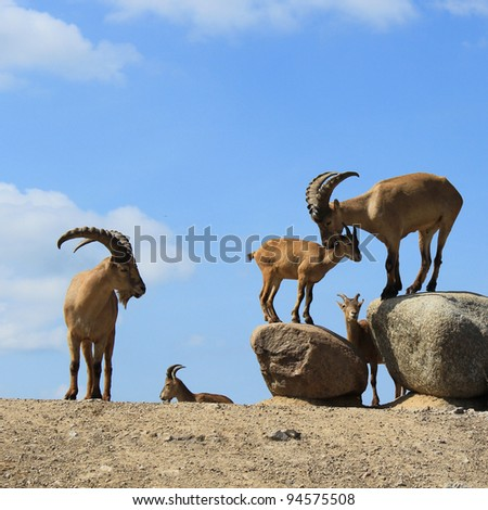 playing goats on stones - stock photo