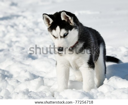 Playing Husky cub - stock photo