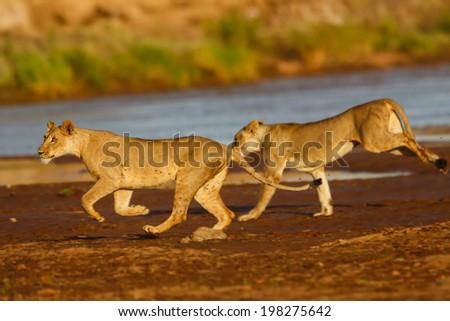 Playing lionesses on the riverside in Samburu National Reserve, Kenya - stock photo