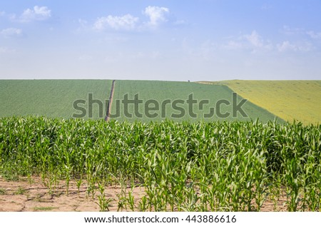 Pleated agricultural land with harvest of corn and sunflower against the blue sky with white clouds - stock photo