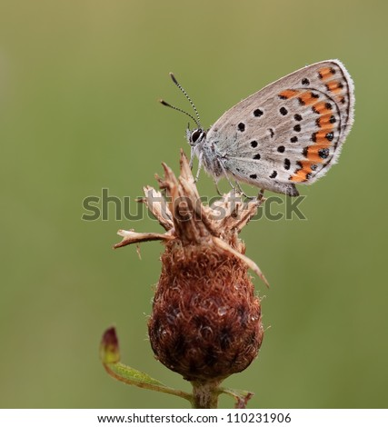 Plebeius argyrognomon butterfly (Reverdin's Blue butterfly) in a clean environment