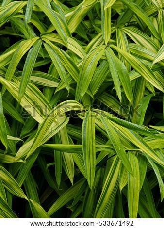 Pleioblastus auiricomus decorative bamboo leaves