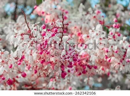 Plenty Cassia bakeriana Craib flower - stock photo