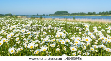 Plenty of blooming Common daisies at the banks of a Dutch river in the spring season. - stock photo