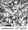 plenty of giltheads (Sparus aurata) - stock photo
