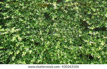 Plenty of small green leafs on the wall as the background texture
