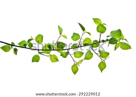 Pliant branch with green leaves isolated on white background   - stock photo