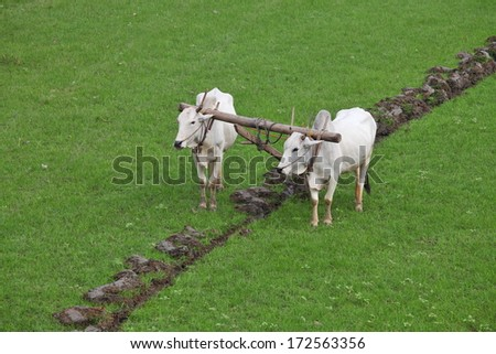 Plowing rice fields with an ox team in Myanmar - stock photo