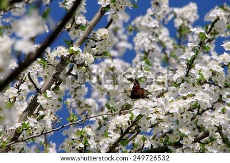 plum blossom  - stock photo