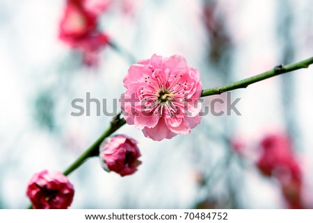 Plum Blossom, chinese flower during lunar new year - stock photo