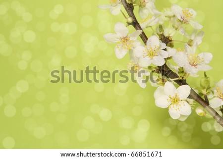 Plum blossoms. - stock photo
