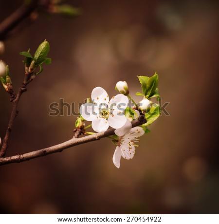 Plum blossoms, flowering plum, plum beautiful white flowers in the garden, selective focus - stock photo