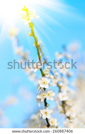 Plum branch with flowers reaching for the sun's rays. natural composition - stock photo