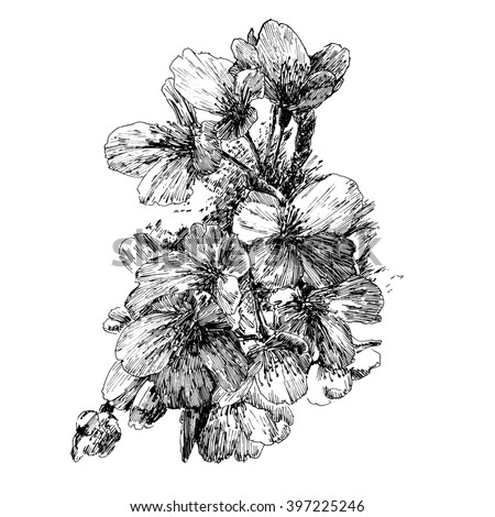 Plum flowers. Black and white dashed style sketch, line art, drawing with pen and ink. Retro vintage picture. - stock photo