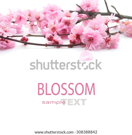 Plum Flowers Blossom on white background good for chinese new year use - stock photo