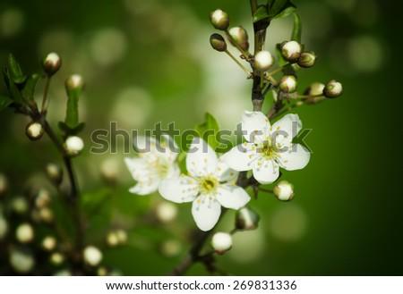 Plum flowers,Flowering plum,many beautiful white plum flowers blooming in the garden - stock photo