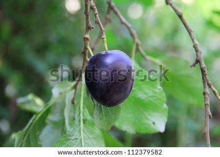 Plum in a Tree - stock photo