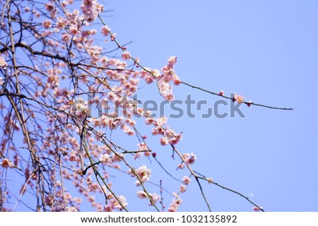 https://thumb9.shutterstock.com/display_pic_with_logo/167494286/1032135892/stock-photo-plum-in-japanese-shrine-1032135892.jpg