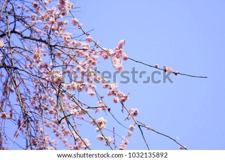 https://thumb9.shutterstock.com/display_pic_with_logo/167494286/1032135892/stock-photo-plum-in-japanese-shrine-1032135892.jpg