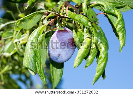 Plum on a plum tree / Plum - stock photo