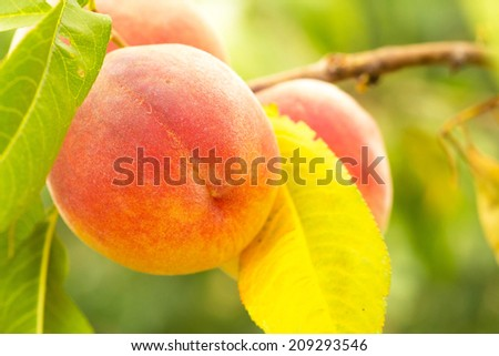 Plum  peach tree with fruits growing in the garden - stock photo