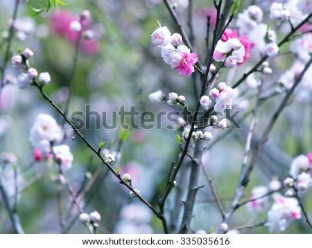 Plum (Prunus mume)?blossom. Plum tree with pink and white flowers. - stock photo