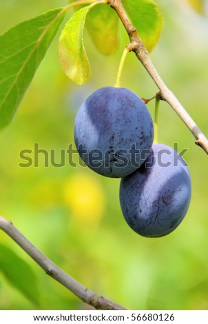 plum tree - stock photo