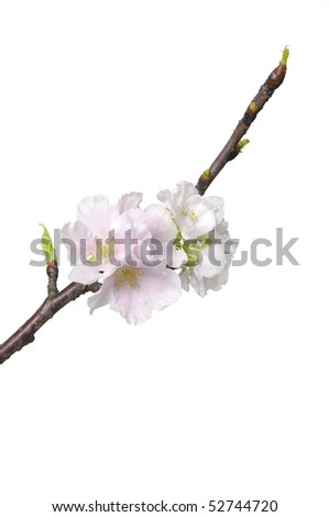 Plum-tree flowers. Design elements