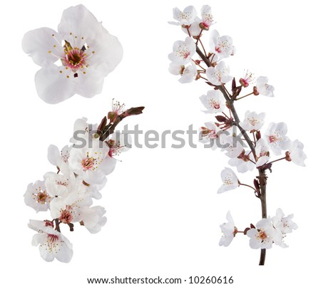 Plum-tree flowers. Design elements isolated on white. - stock photo