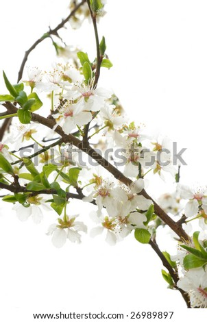 Plum tree white flowers .