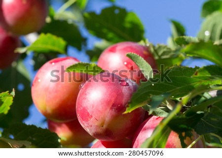 Plum tree with delicious big red plums at sunrise closeup - stock photo