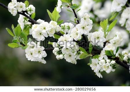 Plum white blossom and blue sky background. Lithuania. - stock photo