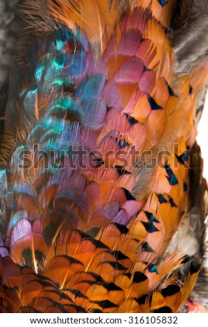 Plumage of a beautiful colorful wild pheasant - stock photo