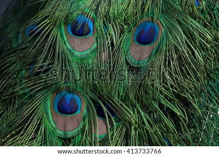 Plumage of the Indian peafowl (Pavo cristatus), also known as the blue peafowl. Wild life animal.  - stock photo
