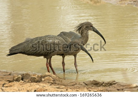 Plumbeous ibis, Theristicus caerulescens, two birds by water, Brazil