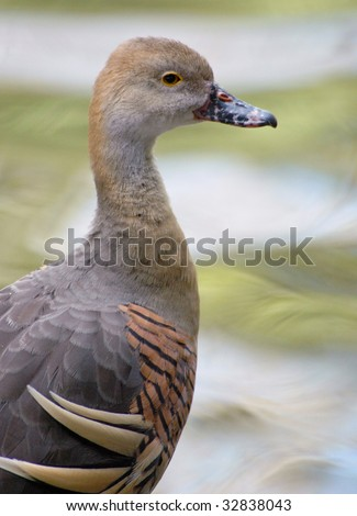 Plumed Whistling Duck - stock photo