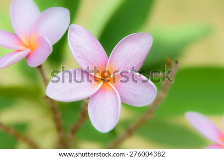 Plumeria. Beautiful pink inflorescence