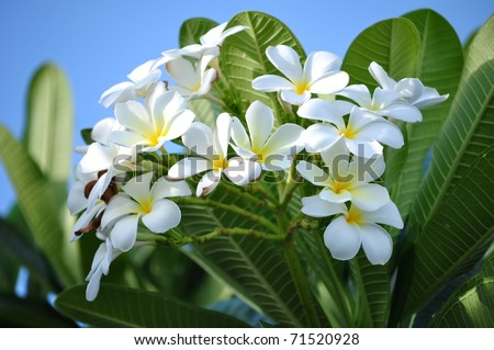 Plumeria (common name Frangipani) is a genus of flowering plants of the family which includes Dogbane: the Apocynaceae. - stock photo
