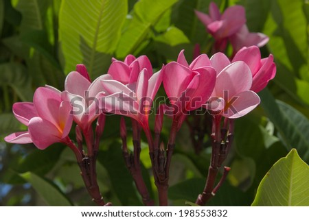 Plumeria flower,Bright pink plumeria blooms on tree - stock photo