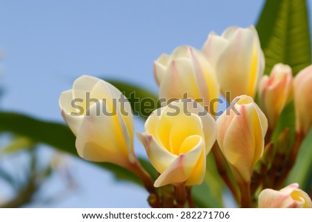 plumeria flower in garden - stock photo